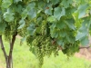 Harvest Ridge grows more than ten varieties of grapes in its vineyard.