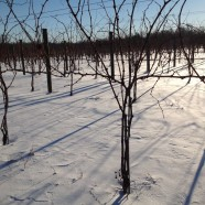 Our snowy vineyard 1/3/2014 (picture 1)
