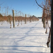 Our snowy vineyard 1/3/2014 (picture 2)